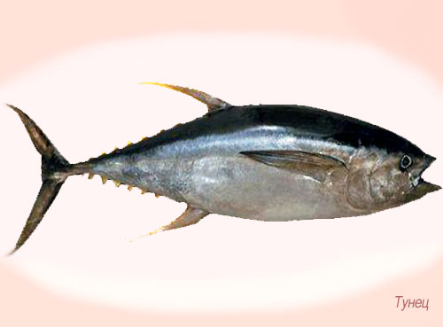 тунец рыба фото