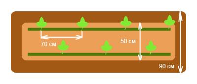 Схема посадки бахчевых